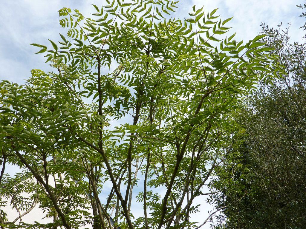 Ang lique en arbre du japon aralia elata - Arbre du japon ...