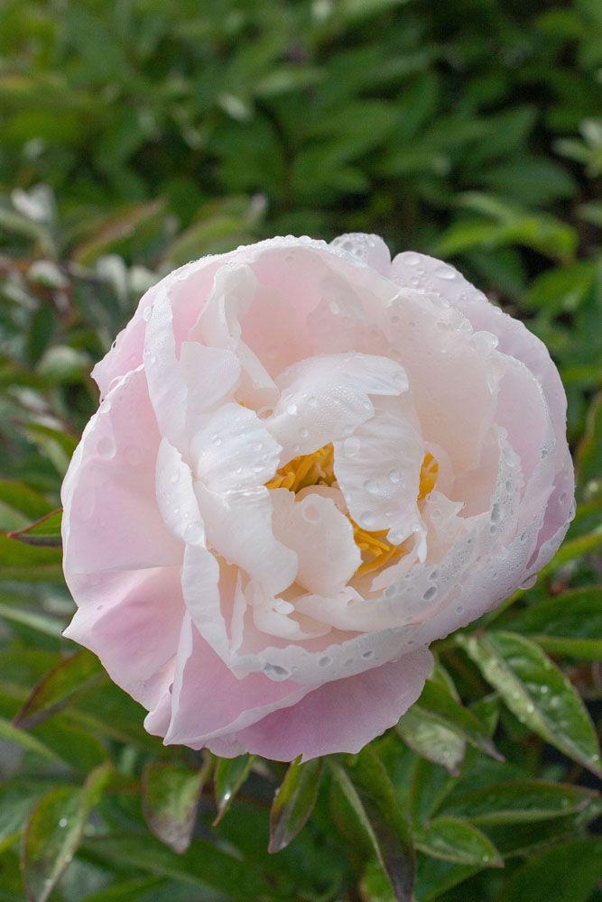 Paeonia lactiflora 39 miss america 39 ou pivoine herbac e for Soldes plantes vivaces