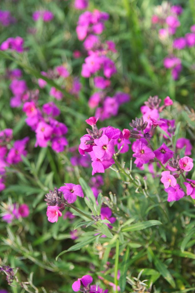 Erysimum asperum 39 bowles 39 for Soldes plantes vivaces