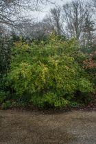 Abelia grandiflora \' Francis Masson \'