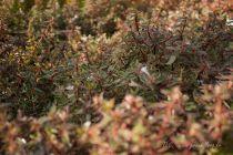 Abelia x grandiflora \'Confetti\'