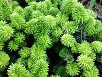 Abies* Balsamea Piccolo