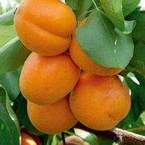 Abricotier \'Polonais\', arbre fruitier caduc à feuille verte et aux fruits orange clair en été.
