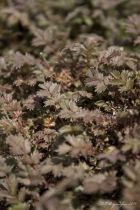Acaena microphylla \'Kupferteppich\'