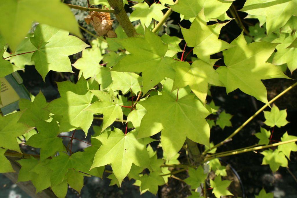 Acer cappadocicum \'Aureum\'