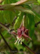 Acer circinatum