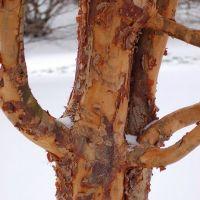 Acer griseum ou érable à écorce de papier, petit arbre à feuillage vert prenant des teintes automnales et écorce qui s'exfolie de façon spectaculaire.