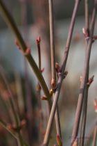 Acer palmatum  \' Little Princess \'