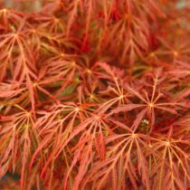 Acer palmatum \'Fire Cracker\'