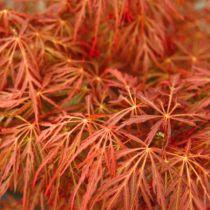 Acer palmatum \'Fire Cracker\'