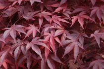 Acer palmatum \'Fireglow\'