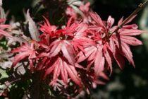 Acer palmatum \'Shaina\'