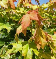 Acer platanoides \' Golden Globe \'