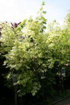 Acer platanoides \'Drummondii\'