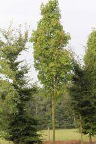 Acer rubrum \'Scanlon\'