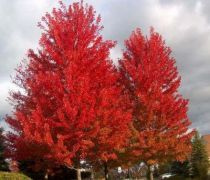 Acer x freemanii \' Autumn Blaze \'