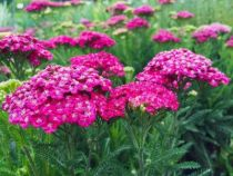 Achillea \'Saucy Seduction\'