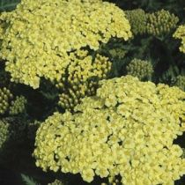 Achillea \'Sunny Seduction\'