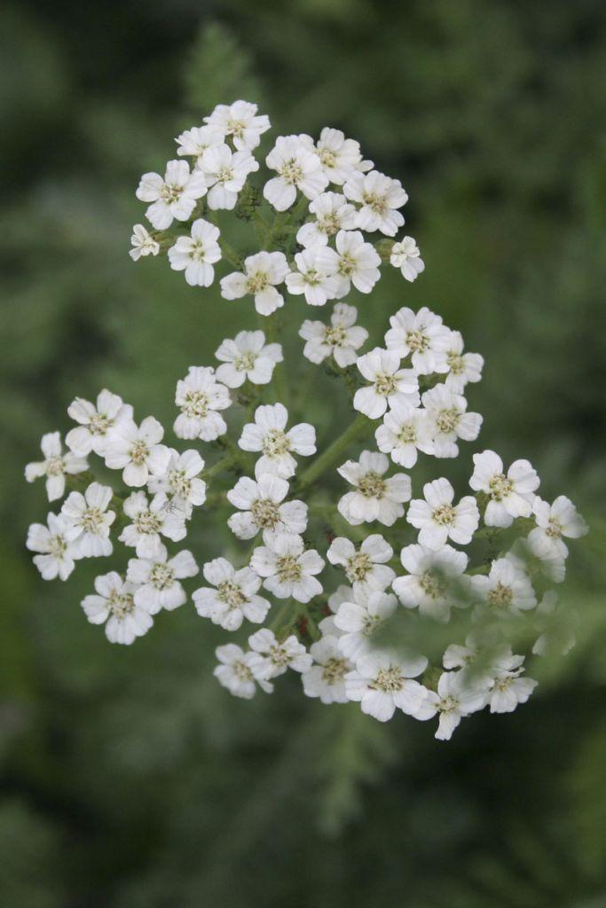 Achillea millefolium 39 schneetaler 39 ou achill e for Soldes plantes vivaces