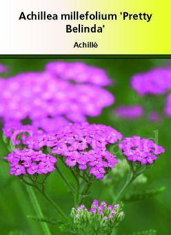 Achillea millefolium \' Pretty Belinda \' ou achillée rose vif