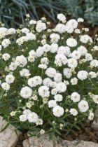 Achillea ptarmica \'Noblessa White\'