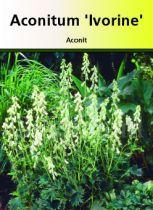 Aconitum septentrionale \' Ivorine \' ou aconit à fleur blanc crème.\r\nplante vivace