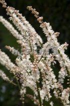 Actaeae japonica Cheju-do