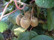 Actinidia chinensis \'Hayward\', fruitiers grimpant à feuille caduc vert et aux fruits marron en automne.