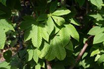 Aesculus hippocastanum \'Baumanii\'