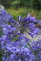 Agapanthe \'Blue giant\' - Agapanthus \'Blue giant\'