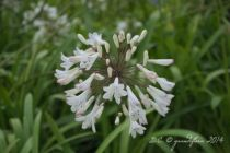 Agapanthe \'Superior blanche\' - Agapanthus \'Superior blanche\'