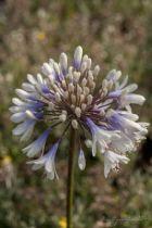 Agapanthe Queen mum, vivace au feuillage vert persistant et aux fleurs blanches et bleues à la base tout l\'été.