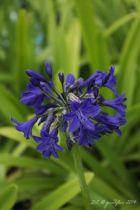 Agapanthus \'Sofie\', vivace persistante au feuillage vert et aux fleurs bleu foncé en été.