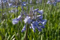 Agapanthus \'Blue triomphator, vivace à fleur bleu ciel veiné plus foncé en ombelle sur une haute tige tout l\'été