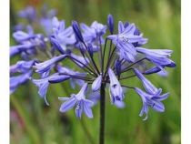 agapanthus_castle_of_may