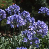 Agapanthus x \'Purple Cloud\'