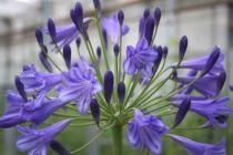 agapanthe purple delight