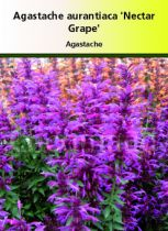 Agastache aurantiaca \'Nectar grape\'