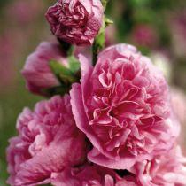 Alcea rosea \'Pleniflora Rosea\'