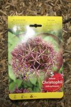 Allium \'Christophii\'