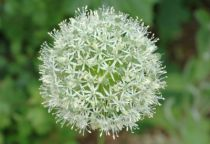Allium \'Mount Everest\'