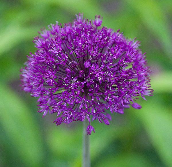 allium aflatunense purple sensation grandiflora. Black Bedroom Furniture Sets. Home Design Ideas