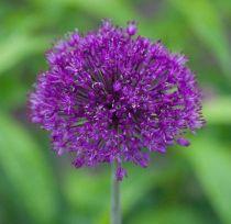 Allium \'Purple Sensation\'