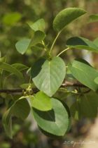 Alnus cordata, arbre à feuilles vertes caduques, chatons jaunes au printemps, suivi de fruits coniques.