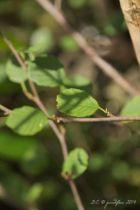 Alnus glutinosa, arbre aux feuilles vertes caduques, chatons jaunes et fruits coniques verts.