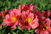 Alstroemeria \'Little Miss Rosalind\'