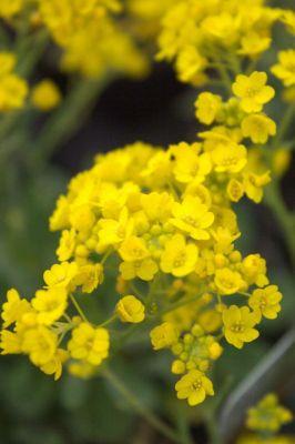 Alyssum saxatile 39 compactum 39 ou alysse for Soldes plantes vivaces