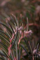 Andromeda polifolia, petit arbuste à feuillage linéaire vert et à floraison de printemps rose tendre.