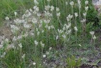 Antennaria dioica \'Borealis\'