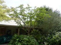 aralia elata ou angélique en arbre du Japon, grand arbuste caduc au feuillage vert et à floraison en panicule blanc crème en été.